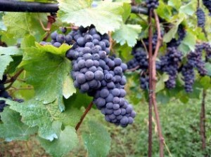 Jezreel-vineyard-3